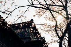 sakura (yako ma) Tags: sony sonya7ⅱ sonya7 sonya7m2 voigtlander nokton