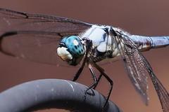 Great Blue Skimmer (Jim Atkins Sr) Tags: libellulavibrans kingskimmer greatblueskimmer dragonfly olympuspenepm2 olympus macro closeup fairfieldharbour northcarolina