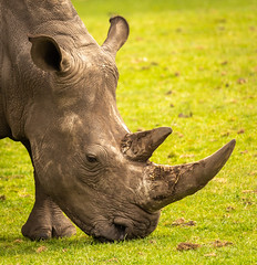 Portrait of a Southern White Rhino 9907 (Mike Thornton 15) Tags: southern white rhino westmidssafaripark grazing horns africa