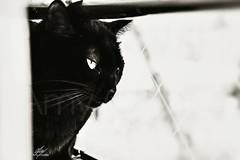 Black cat (Amy Charlize) Tags: amycharlize focosocial cat blackcat blackandwhite black light photography pic