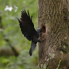 Jackdaw (Robin M Morrison) Tags: jackdaw nest hole ash tree somerset wood local