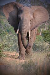 Nelly (Spectacle Photography) Tags: wildlife wildlifewatching wildlifephotography wild nature naturephotography animalsinthewild animals southafrica safari africasafari africa kruger krugernationalpark elephant elephantphotography