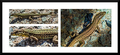 Sunbathers (DXW1978) Tags: nature wildlife lizard reptile sun france