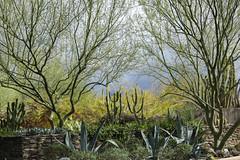Desert Botanical Garden (Mick L.) Tags: desertbotanicalgarden phoenix arizona cac cactus