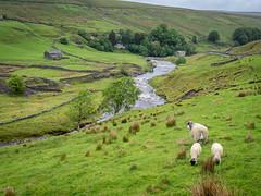 The River Swale near Keld, Yorkshire Dales (Bob Radlinski) Tags: england europe greatbritain keld northyorkshire richmondshire riverswale swaledale uk yorkshiredales sheep travel em1d5267 yorkshiredalesnationalpark