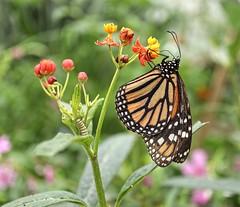 Monarch butterfly and caterpillar (glimpsesofgardens) Tags: standrews standrewsbotanicgarden garden tropicalbutterflies butterflies fife scotland