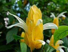 Pachystachys lutea (geneward2) Tags: pachystachys lutea plant nature flower yellow shrimp