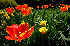 Tulips after peak (geneward2) Tags: tulip red yellow flower new york botanical garden nature