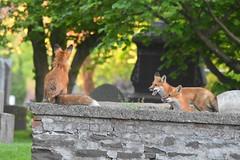 3 foxes (Peter Granka) Tags: fox foxkits