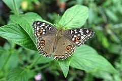 The Lemon Pansy butterfly, Junonia almana (glimpsesofgardens) Tags: standrewsbotanicgarden tropicalbutterflies garden fife scotland