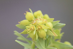 Dwarf Spurge (Euphorbia exigua) (macronyx) Tags: nature blommor plants plant växter växt flower flowers törel småtörel spurge dwarfspurge euphorbia euphorbiaexigua