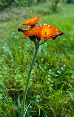 Orange hawkweed (geneward2) Tags: orange hawkweed plant flower nature massachusetts becket