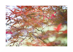 Colored spring (francine koeller) Tags: red orange abstract rouge leaf flou abstrait erable feuillage