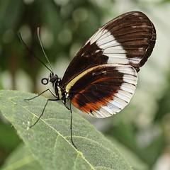 Cydno longwing butterfly, Heliconius cydno (glimpsesofgardens) Tags: standrewsbotanicgarden tropicalbutterflies garden butterflies fife scotland