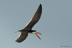 Black Skimmer (Earl Reinink) Tags: bird sea seabird skimmer beak color wildlife animal sky earlreinink aiuiuiodea blackskimmer