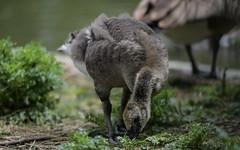 Bendy bird (PChamaeleoMH) Tags: london birds geese goslings canadageese brockwellpark