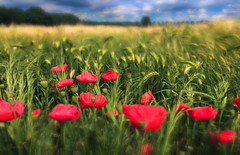 Poppies :-) (Fr@ηk ) Tags: poppies flowers red mrtungsten62 frnk field meadow agriculture farm sky himmel ciel clouds blue green colors canon6d eos6d 50mm blur dof pov europe topf25 topf50 topf100 topf150 flaccueapp33 albumart cover print tlpserendipitywordpresscomblog mg59 ƒr㋡ηk