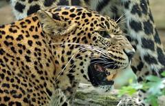 shrilankan panther Burgerszoo 094A0408 (j.a.kok) Tags: animal asia azie mammal predator panter panther leopard luipaard shrilankapanter shrilankanpanther shrilankanleopard shrilankaansepanter shrilanka zoogdier dier burgerszoo burgerzoo