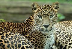 shrilankan panther Burgerszoo 094A0737 (j.a.kok) Tags: animal asia azie mammal predator panter panther leopard luipaard shrilankapanter shrilankanpanther shrilankanleopard shrilankaansepanter shrilanka zoogdier dier burgerszoo burgerzoo