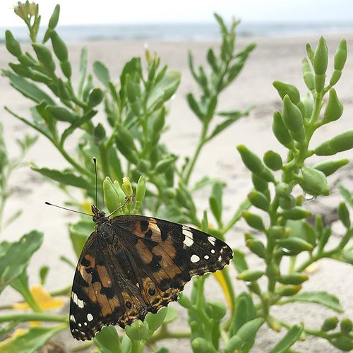 """""""All hearts float in their own deep ocean."""" This painted lady butterfly took #WorldOceansDay very seriously and now will be drying off for the next several hours. 🌊"""