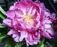 Peonies V (CloudBuster) Tags: pioenrozen peonies nature blossom bloei flower bloemen planten