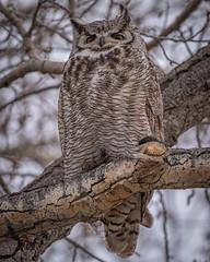 Who?.jpg (elektratig) Tags: yellowstonenationalpark yellowstone wyoming owl greathornedowl