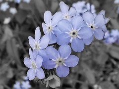 Forget-me-nots (janettehall86) Tags: forgetmenots tiny small smallblueflowers blueflowers flowers flowerphotography flower naturephotography nature beautiful beauty outdoors outdoorphotography photography photographylovers smallpetals petals flowerhead flowerpower flowerlovers fluer floral macrophotography macroflowers macro gardenflowers garden coloursplash colour blackandwhitephotography blackandwhite photo flickr flickrcentral huaweip30pro huawei flickruploaded england bloom fullbloom