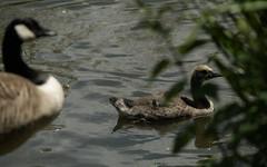 Goose and gosling (PChamaeleoMH) Tags: london birds geese goslings canadageese brockwellpark