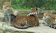 shrilankan panther Burgerszoo 094A0464 (j.a.kok) Tags: animal asia azie mammal predator panter panther leopard luipaard shrilankapanter shrilankanpanther shrilankanleopard shrilankaansepanter shrilanka zoogdier dier burgerszoo burgerzoo