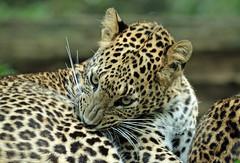 shrilankan panther Burgerszoo 094A0291 (j.a.kok) Tags: animal asia azie mammal predator panter panther leopard luipaard shrilankapanter shrilankanpanther shrilankanleopard shrilankaansepanter shrilanka zoogdier dier burgerszoo burgerzoo