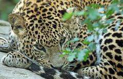 shrilankan panther Burgerszoo 094A0430 (j.a.kok) Tags: animal asia azie mammal predator panter panther leopard luipaard shrilankapanter shrilankanpanther shrilankanleopard shrilankaansepanter shrilanka zoogdier dier burgerszoo burgerzoo