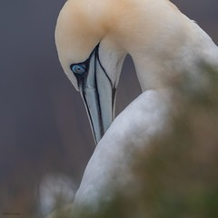 Gannet (kc02photos) Tags: gannet morusbassanus bempton yorkshire england uk birdphotography