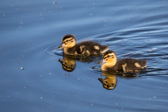 Two cute too (Mibby23) Tags: mallard ducks duck anas platyrhynchos birds wildlife nature watermead lake canon 5dmk4 sigma 150600mm contemporary