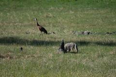 YNP Coyote vs Sandridge Crane (John Nefastis) Tags: yellowstone nationalpark national park montana wyoming green bird sandridge crane coyote fighting wildlife animals