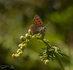 Small Copper in bokeh (SarahW66) Tags: smallcopper butterflies butterflyonplant butterfly orange insectphotography insectonplant insect macrophotography macrolens macrobutterfly canon canoneos80d sigmamacro sigma105mm naturalbokeh bokeh bokehphotography