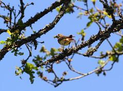 Common Redstart - female (Wild Chroma) Tags: phoenicurus phoenicurusphoenicurus redstart sweden female birds passerines