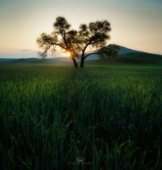 Wheatgrass Dewdrops (ernogy) Tags: washington ernogy wheat sunrise palouse