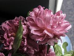 Peonies Ten (CloudBuster) Tags: peonies pink rose roze flower nature planten struiken natuur beauty schoonheid fragile kwetsbaar green groen lente spring voorjaar