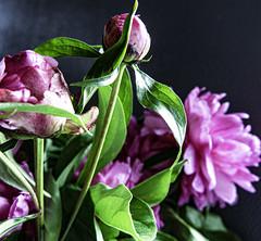 Peonies Nine (CloudBuster) Tags: peonies pink rose roze flower nature planten struiken natuur beauty schoonheid fragile kwetsbaar green groen lente spring voorjaar