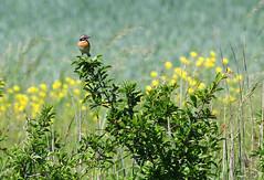 Whinchat - male (Wild Chroma) Tags: saxicola rubetra saxicolarubetra whinchat birds passerines sweden male