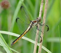 A Cooper Hollow Spangled Skimmer With Water Droplets (Eat With Your Eyez) Tags: slaty skimmer cooper hollow wildlife area jackson county ohio dragonfly odonate odonata insect insects bug bugs wing wings fly flight beautiful animal nature outdoors park pond weeds grass rain drop panasonic fz1000 bokeh close up closeup macro