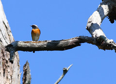 Common Redstart - male (Wild Chroma) Tags: phoenicurus phoenicurusphoenicurus redstart birds passerines sweden male