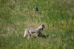YNP Coyote Scavenging (John Nefastis) Tags: yellowstone nationalpark national park montana wyoming green bird sandridge crane coyote fighting wildlife animals