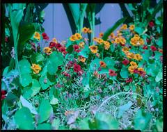 Squash flowers (James Harr's Photos) Tags: graflex speedgraphic kodakinternegativefilm 4x5 largeformat diydeveloper diyc41