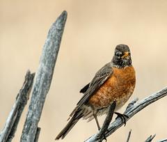 Robin Posing (edmason88) Tags: robin posing tree tamron150600 strathconacounty alberta canada