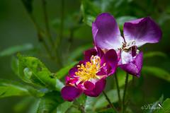 Rose (Dicksy93) Tags: img0308 rose violette fleur flower flore flora fiore blume bloem tige pétale etamine nature extérieur outdoor jardin garden ker louis plévenon côtesdarmor 22 bretagne brittany breizh bzh france europe dicksy93 catherine olivier macro canon 7d tamron sp 150600mm f563 di vc usd a011