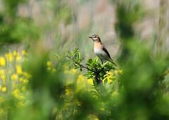 Whinchat (Wild Chroma) Tags: saxicola rubetra saxicolarubetra whinchat birds sweden passerines female