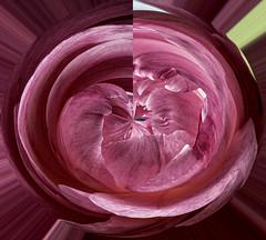 Peonies Eleven Spot the Smile (CloudBuster) Tags: peonies pink rose roze flower nature planten struiken natuur beauty schoonheid fragile kwetsbaar green groen lente spring voorjaar