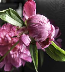 Peonies Eight (CloudBuster) Tags: peonies pink rose roze flower nature planten struiken natuur beauty schoonheid fragile kwetsbaar green groen lente spring voorjaar
