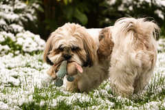 Poppy wasn't very happy about finding her toy covered in snow! (_chloechappell) Tags: poppy dog puppy lhasa lhasaapso pet ilovemydog animal snow toy garden grass white colourful emotion moody canon canoncamera canon700d closeup camera expression
